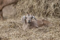 Adorable brown goat lying in bed of hay with entertaining expression. Small brown goat lying alone in pile of hay with a cute expression on its face Stock Photos