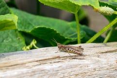 Small brown grasshopper. At the garden Stock Photos