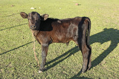 Small brown leather calf Royalty Free Stock Image