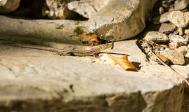 Small brown lizard belly belly lemon color basking in the sun on a rock stone Stock Photography