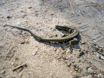Small brown lizard on the sand. Viviparous Lizard Royalty Free Stock Image