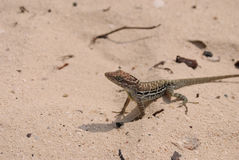 Small Brown Lizard Sitting on a White Sand Beach. Adorable small brown lizard sitting on a white sand beach Stock Photography
