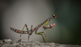 Small Brown Mantis macro closeup Stock Image