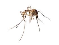 Small brown mosquito isolated on white Stock Photo