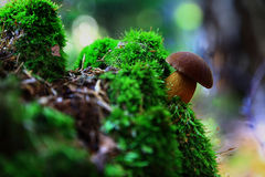Small brown mushroom stock photos