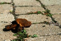 Small brown mushrooms and grass growing on stone pavement. Made of rectangular tiles stock photography