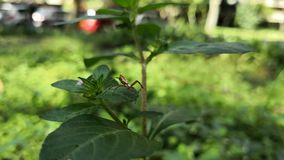 Small brown orb weaver spider in a park with people walking in the background. Small brown orb weaver spider over the green leaf of a wild plant in a park stock video footage