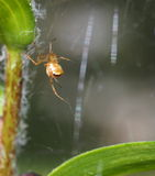 Small Brown Orb Weaver Spider Royalty Free Stock Photos