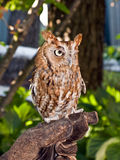 Small Brown Owl Stock Photography