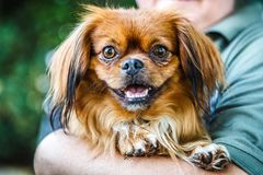 Small brown pekingese dog stock photos