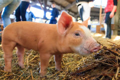 Small brown piglet. Very cute little newborn piggy pig sus scrofa in a petting zoo in the Netherlands stock images