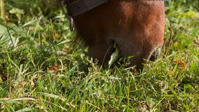 Small brown pony horse grazing on a field. Close-up farm animal eating green grass. 4k.  stock video footage