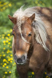 Small brown pony with pigtails in spring meadow Stock Images