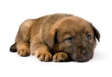 Small brown puppy Royalty Free Stock Photography