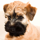 Small brown puppy Royalty Free Stock Photo