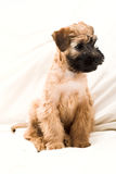 Small brown puppy Royalty Free Stock Image