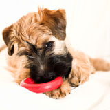 Small brown puppy with toy Royalty Free Stock Photography