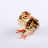 Small brown quail one day old on white board Stock Photography