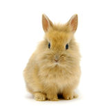 Small brown rabbit Royalty Free Stock Photography