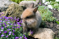 Small brown rabbit Stock Images