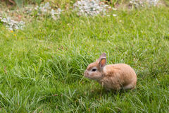 Small brown rabbit on green grass Stock Photos
