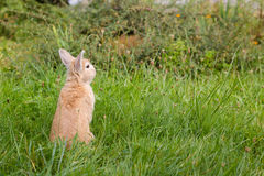 Small brown rabbit on green grass Royalty Free Stock Photography