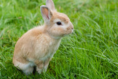 Small brown rabbit on green grass Stock Image
