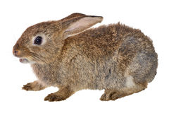 Small brown rabbit isolated on white Stock Images
