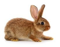 Brown rabbit on white. Small brown rabbit on white background Royalty Free Stock Photo