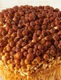 Small brown shimeji mushrooms Royalty Free Stock Photos