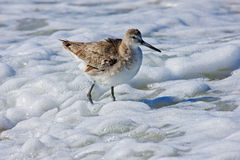 Dowitcher in Florida Royalty Free Stock Photo