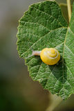 Small brown snail on a leaf Stock Photography