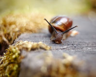 A small brown snail Royalty Free Stock Photography