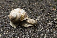 Small brown snail Stock Photography