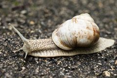 Small brown snail Royalty Free Stock Image