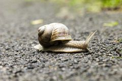 Small brown snail Royalty Free Stock Photos
