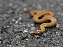 Small Brown Snake Stock Image