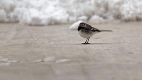 Motacilla alba in Corbeanca, Romania. Small brown songbird motacilla alba on snow covered ground in Corbeanca, Ilfov County, Romania on sunny day Royalty Free Stock Photo
