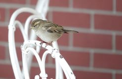 Small Brown Sparrow female perched on a garden chair stock image
