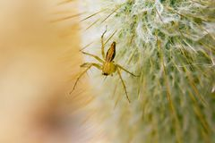 A small brown spider is on the cactus. stock photo