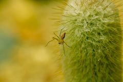 A small brown spider on the cactus. royalty free stock images