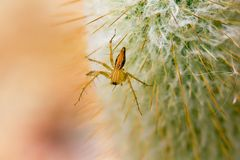 A small brown spider is on the cactus. royalty free stock image