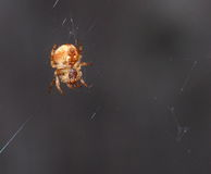 Small Brown Spider Royalty Free Stock Images