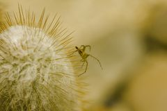 A small brown spider on the cactus. stock images