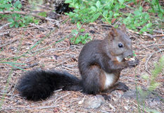 Small brown squirrel in the green grass Stock Image