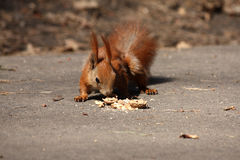 Small brown squirrel with nut. Small beautiful squirrel with a nut in a city park Royalty Free Stock Photos