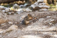 Small brown squirrel standing eat peanut in forest. Small brown squirrel standing eat peanut in jungle stock images