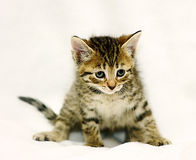 Small brown tabby kitten Royalty Free Stock Photo