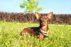 Small brown toy-terrier dozing on green grass in summer park. With closed eyes. Multicolored outdoors horizontal image Royalty Free Stock Image