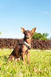 Small brown toy-terrier sitting on green grass in summer park. Multicolored outdoors image Royalty Free Stock Photo
